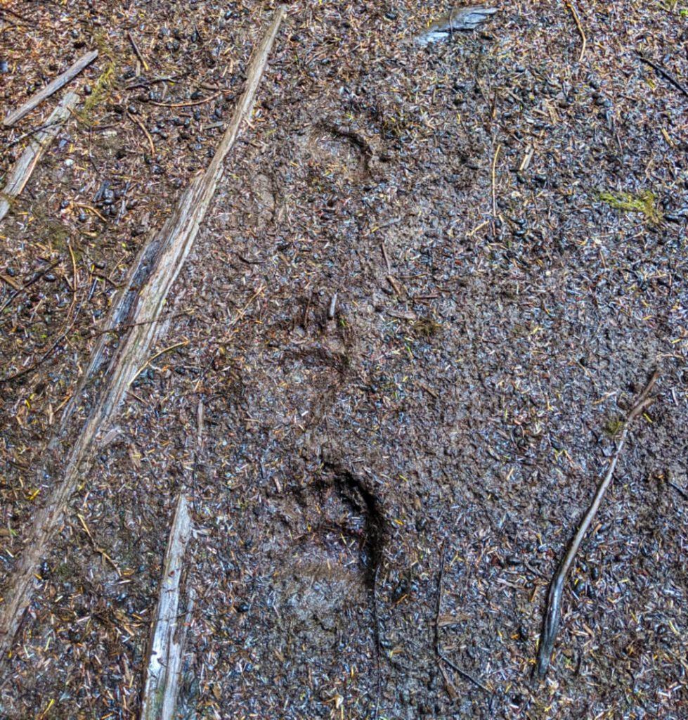 Black bear paw prints in mud/dirt on Cape Scott Trail, Vancouver Island