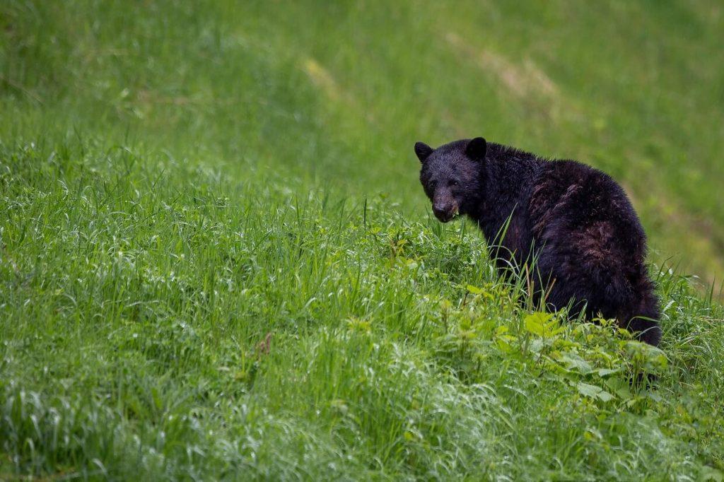 A black bear sat in grass