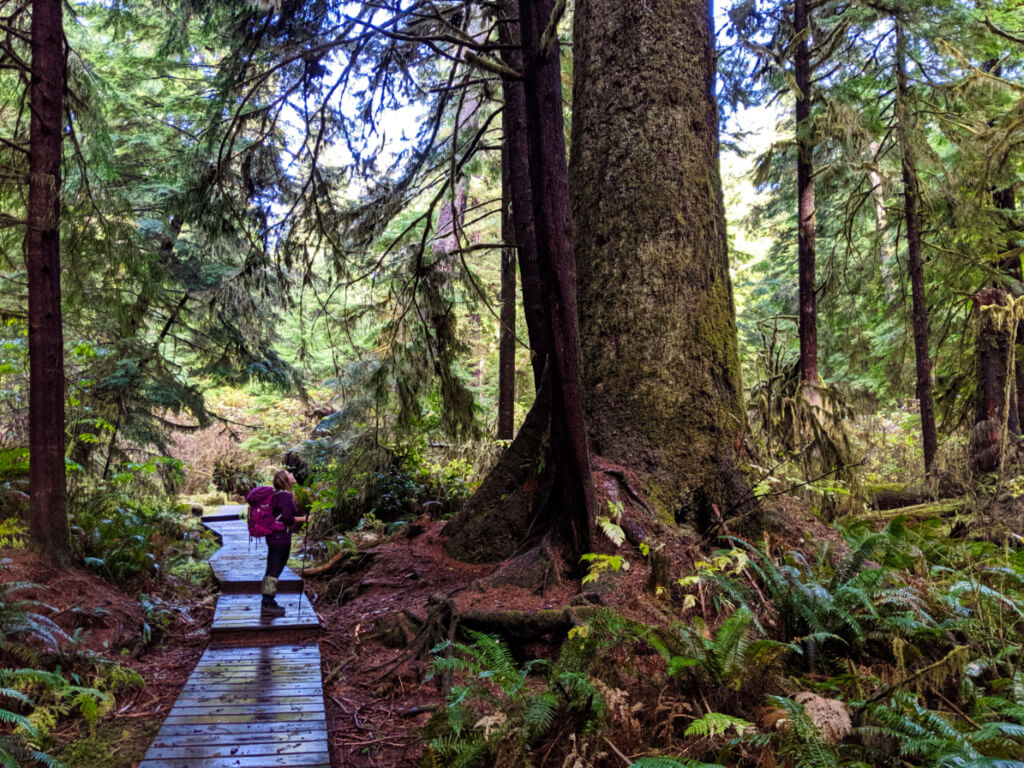 Gemma looking up at a huge spruce tree while on trail boardwalk
