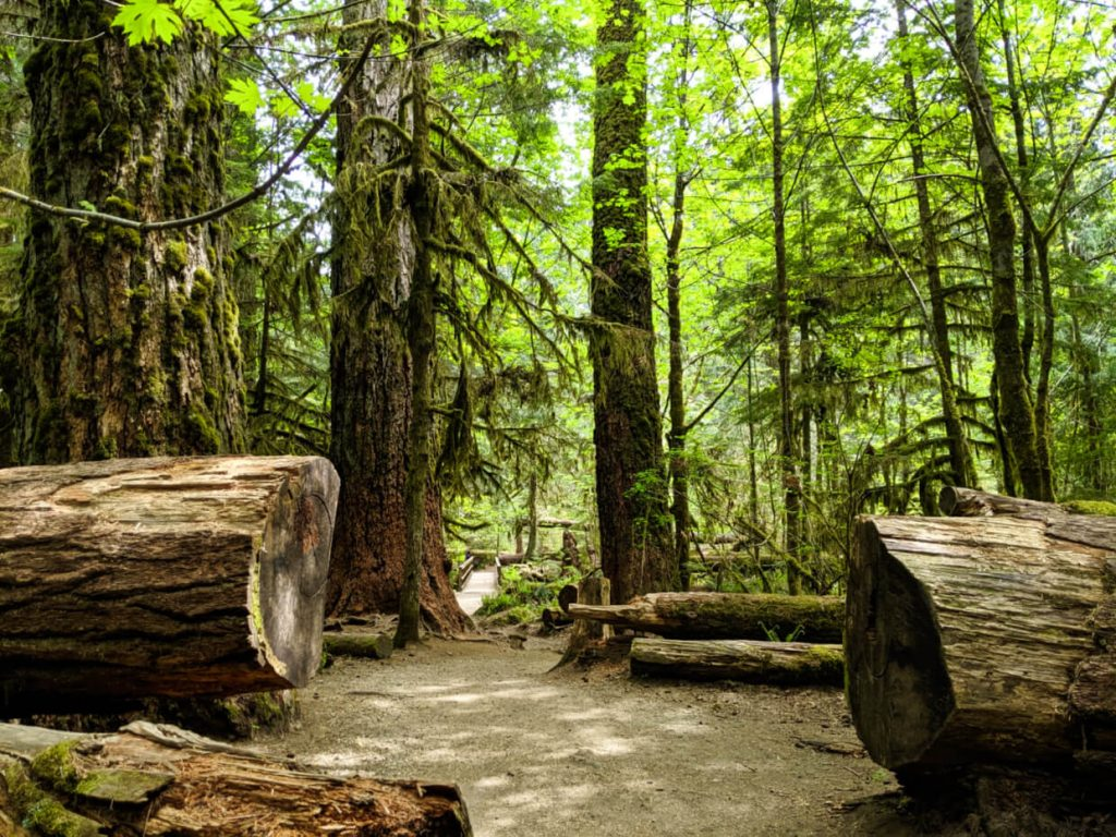 Fallen tree cut to allow trail to continue, with mossy trees behind
