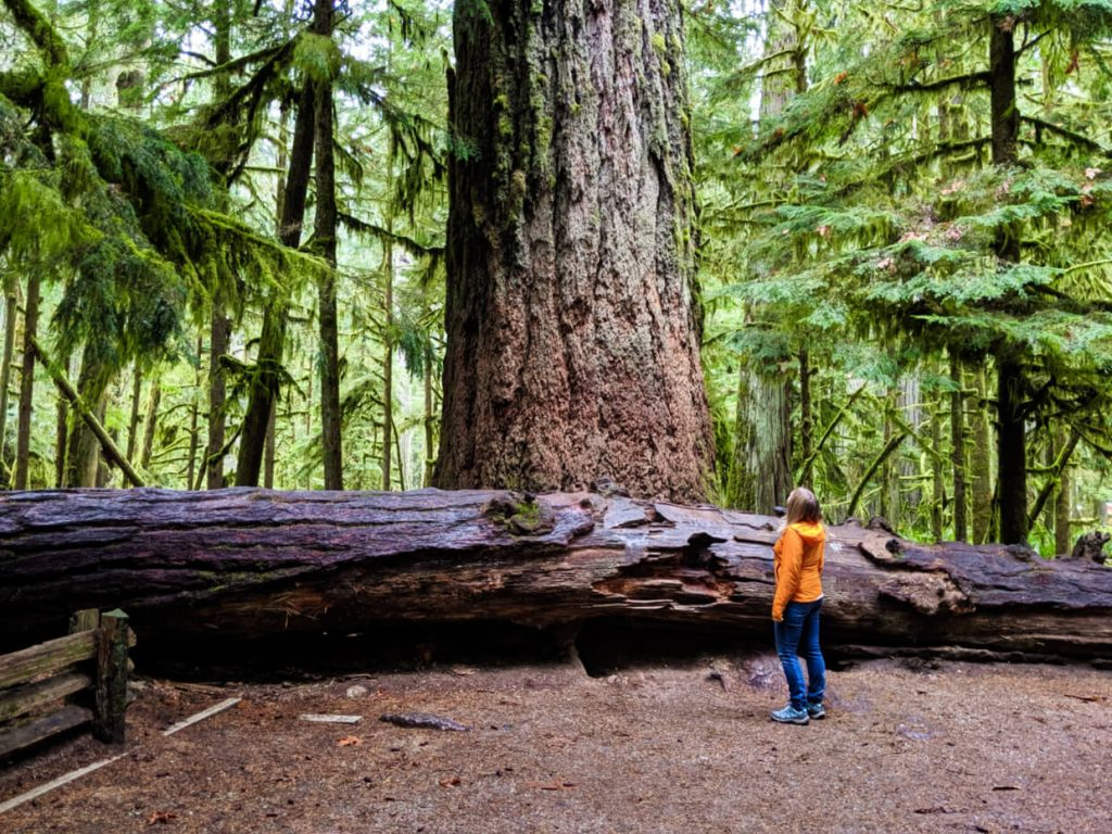 Gemma with the biggest tree in Cathedral Grove, Vancouver Island