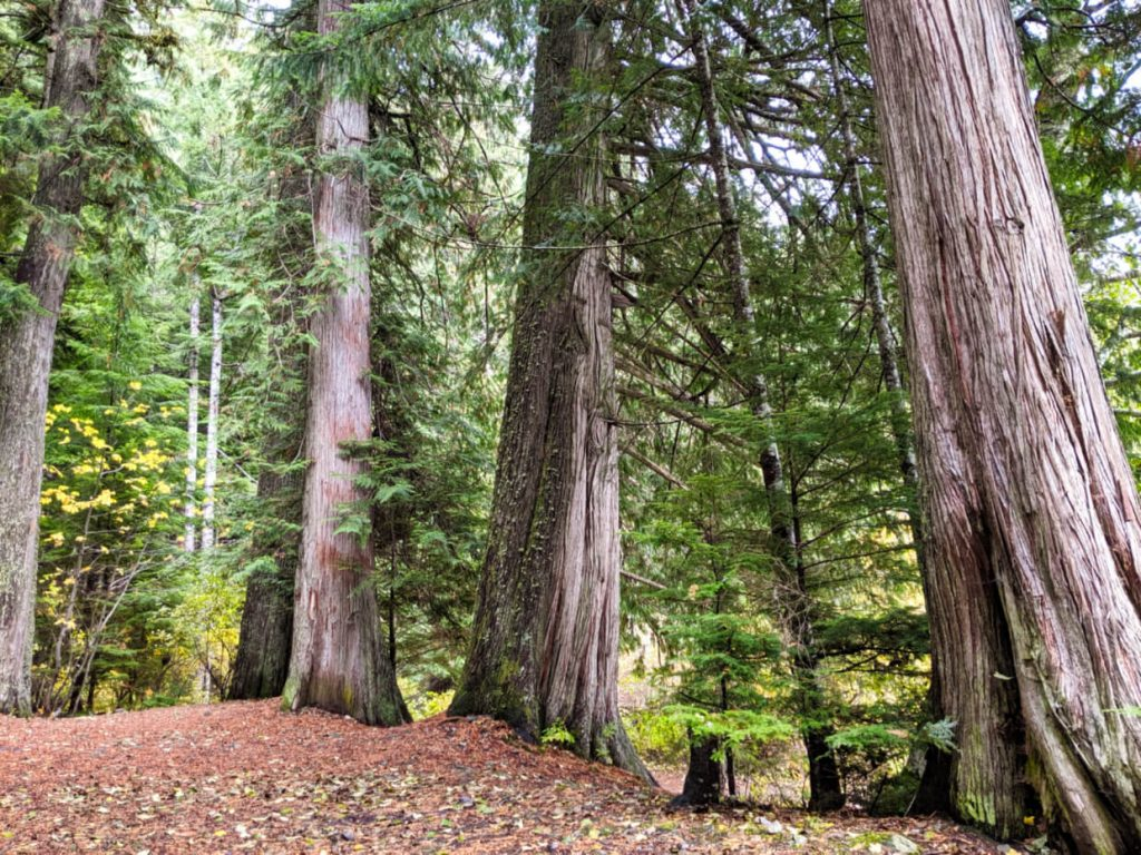 Open campsite area surrounded by large trees at Schoen Lake