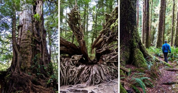 Where to Find Big Trees on Vancouver Island