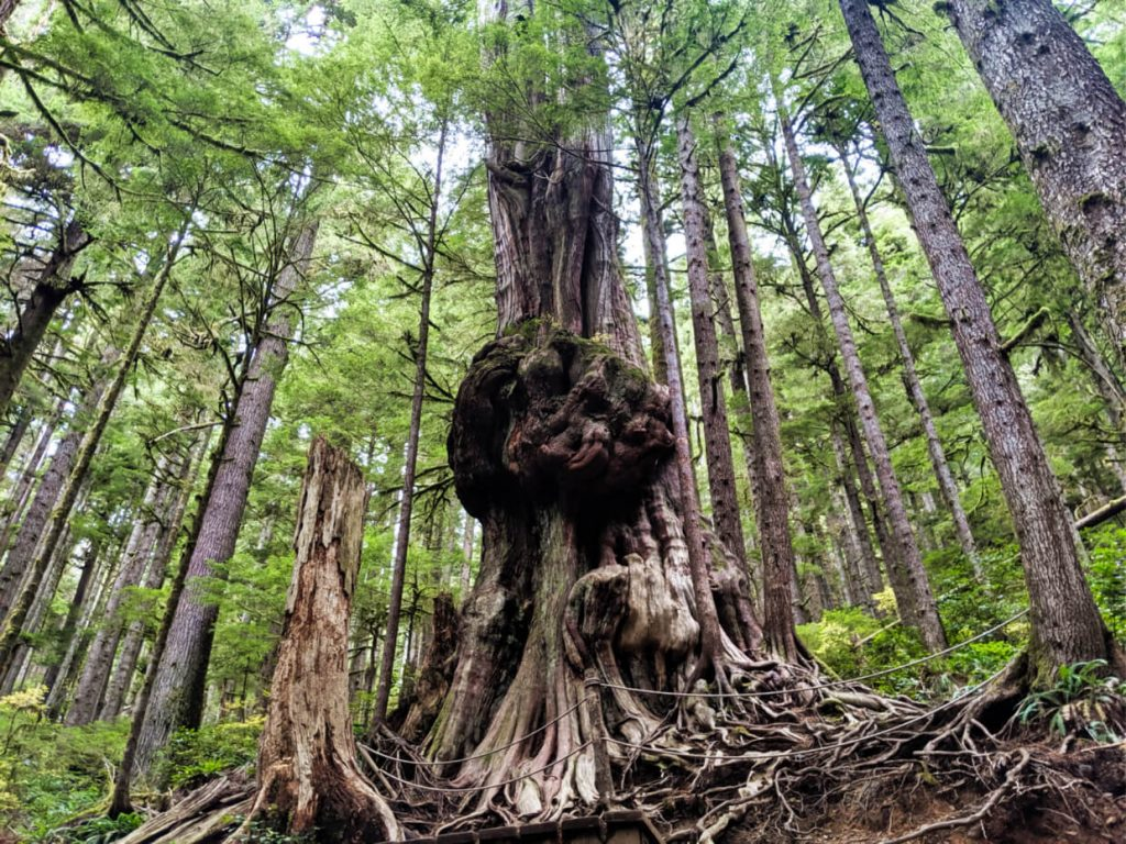 A gnarly tree with a huge burl in the middle in Avatar Grove, Vancouver Island
