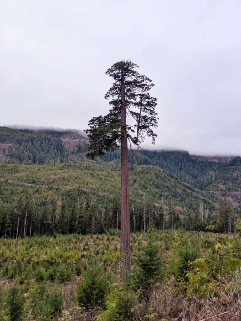 A tall Douglas Fir tree sits alone in the middle of a piece of land that has been clear cut
